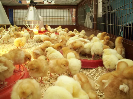 Full Guides on Day-old Chicks Brooding Management & Benefits